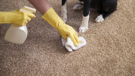 Bersihkan Kotoran Hewan di Karpet